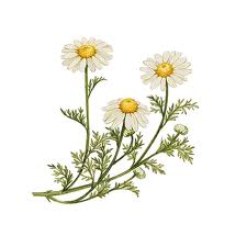 Essential Oil - English Chamomile